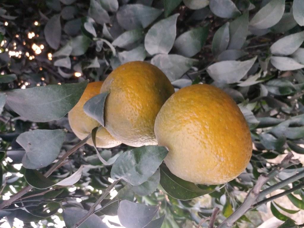 Oranges benefits